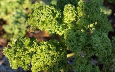 Boerenkool: lokaal superfood
