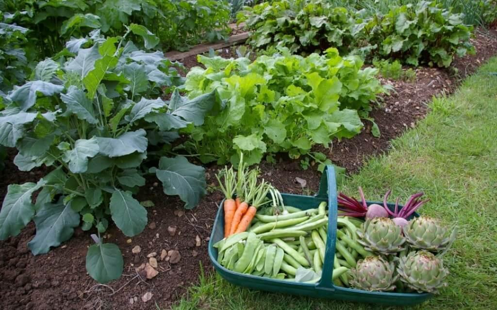 Groentetuin: tijd om te oogsten!