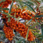 Wildplukken: duindoorn + recepten