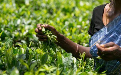 Fairtrade thee van blad en knop tot kopje + PROEF!