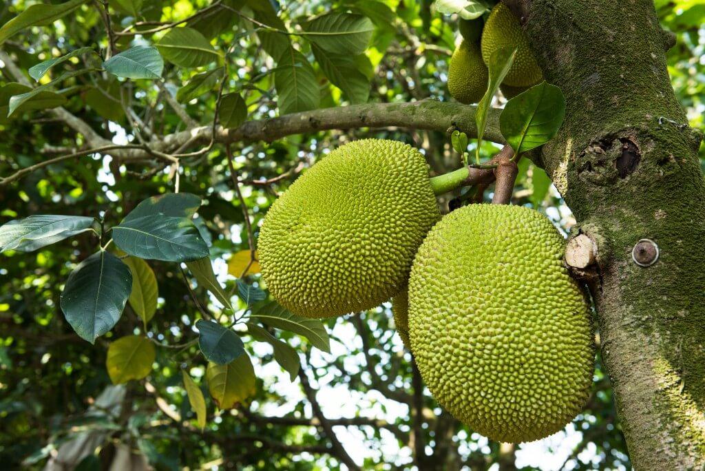 10 verrassende gezondheidsvoordelen van jackfruit