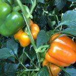 10 dingen over oranje paprika's die je nog niet wist