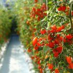 10 dingen die je nog niet wist over tomaten