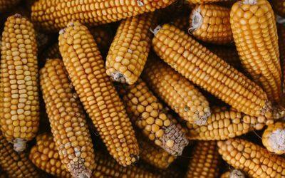 De gezondheidsvoordelen van mais
