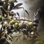 De gezondheidsvoordelen van olijven